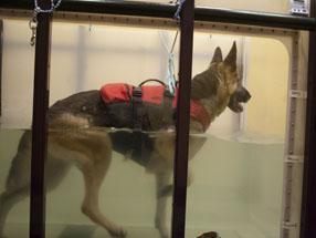 German Shepherd Undergoing Water Therapy